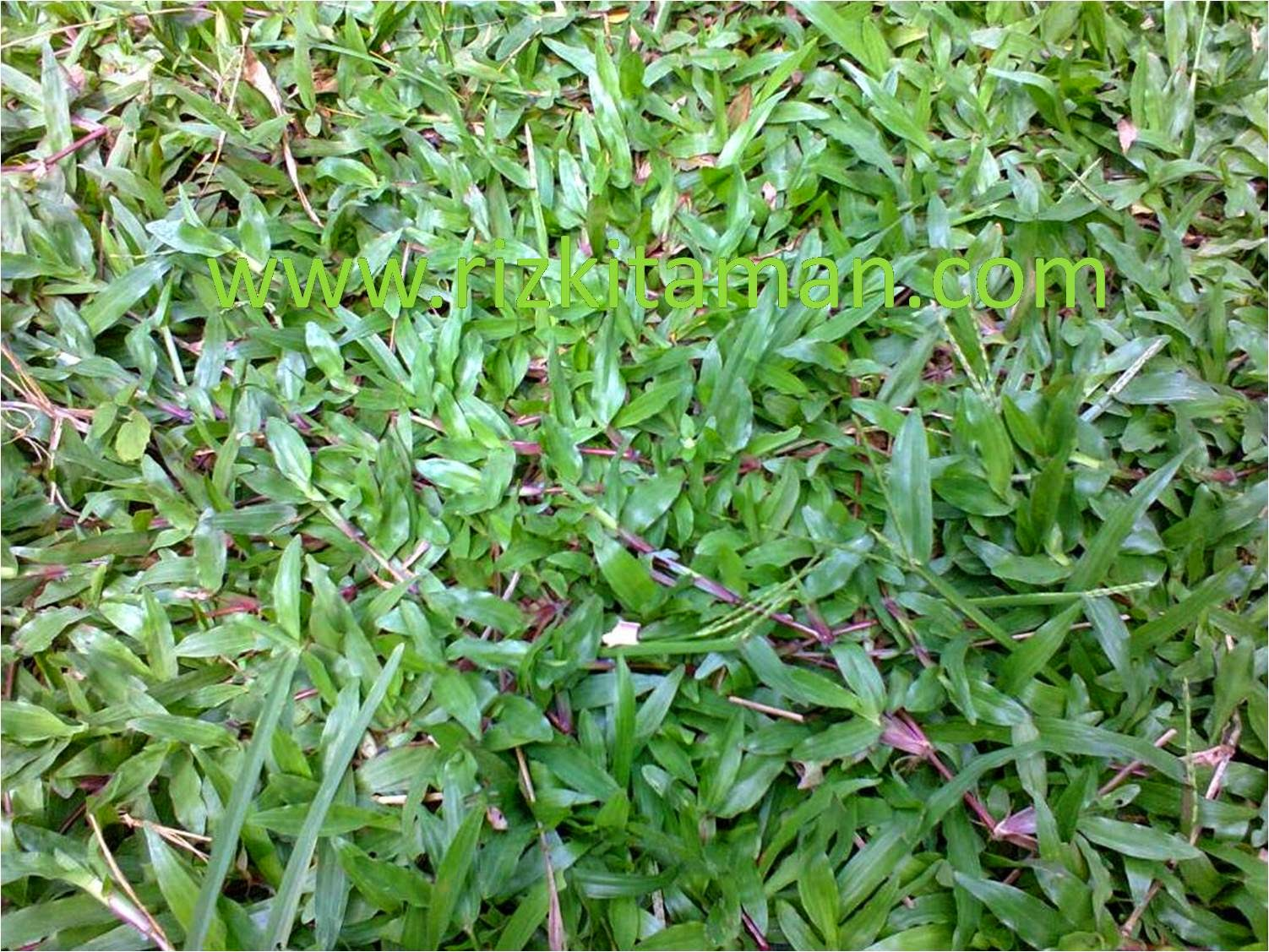 Tukang rumput | aneka rumput murah | jasa tukang taman | jasa tanam ruput