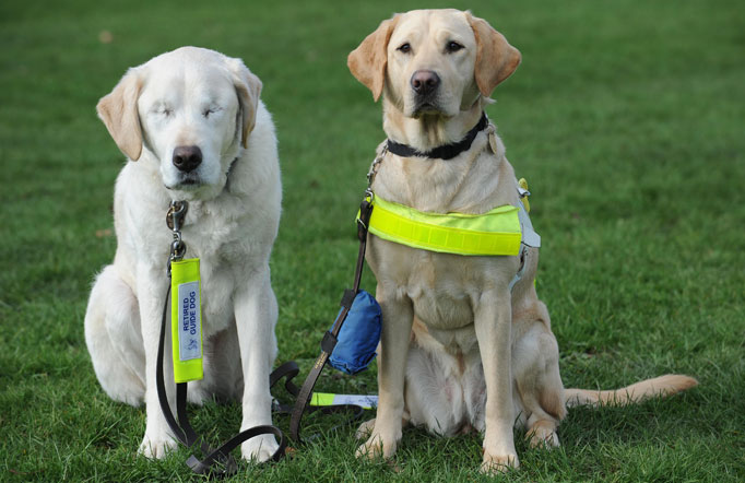 Guide dogs for the blind - photo#7