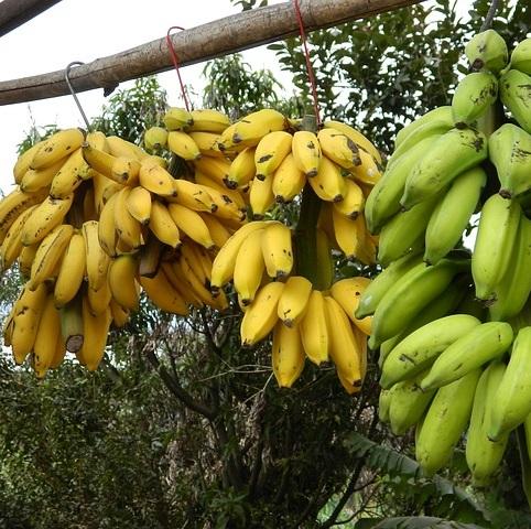 Q223 90本のバナナ