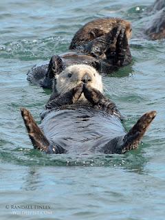 Otters, Monterey, Monterey Bay