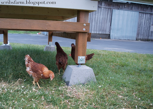 free range outside chickens