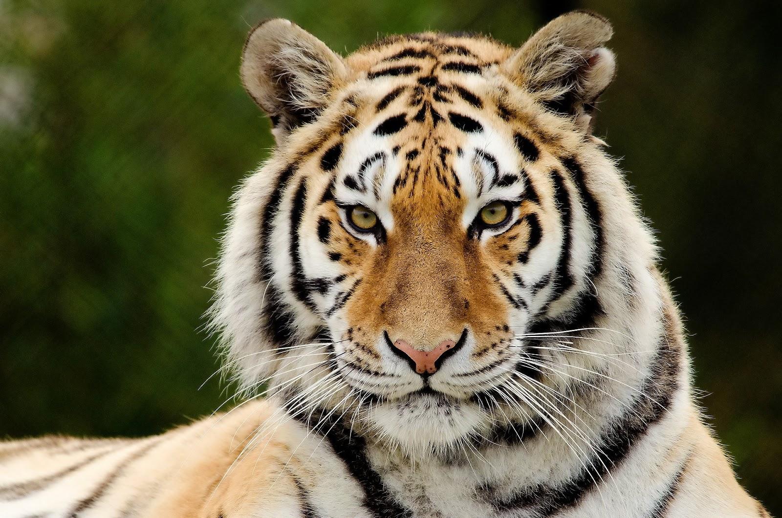 Round trip tiger safari in india - Image tete de tigre ...