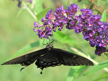 Black Tiger Swallowtail Butterfly Hanging by His Toenails!