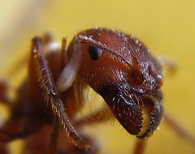 Ants having sex