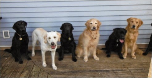 There are five dogs sitting and one dog standing facing the camera. From left to right, a black lab sitting, a yellow lab standing, a black lab sitting, a golden retriever sitting, a black lab sitting, and a golden retriever sitting. There is a black lab's right paw just inside the frame on the far right side. The dogs are sitting on a wooden deck against a vinyl sided wall.