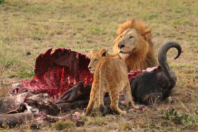 львы едят буйвола