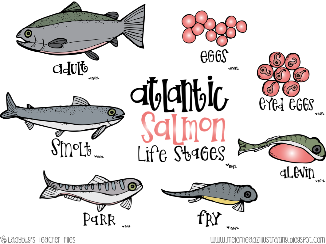 salmon life cycle coloring page