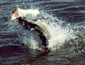 Casting Jumping Barramundi ( Kakap Putih )