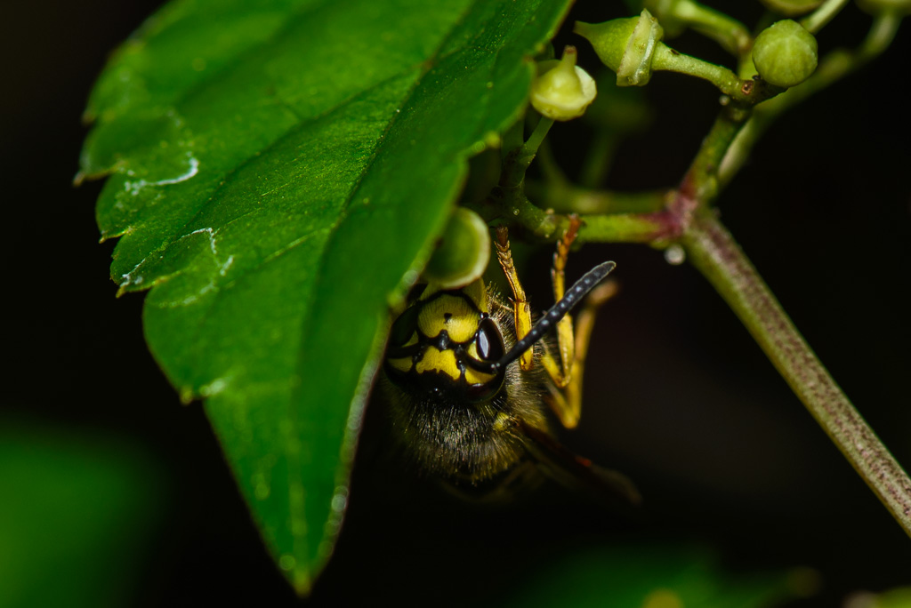 Photography Musings By Dave Anatomy Of A Yellow Jacket