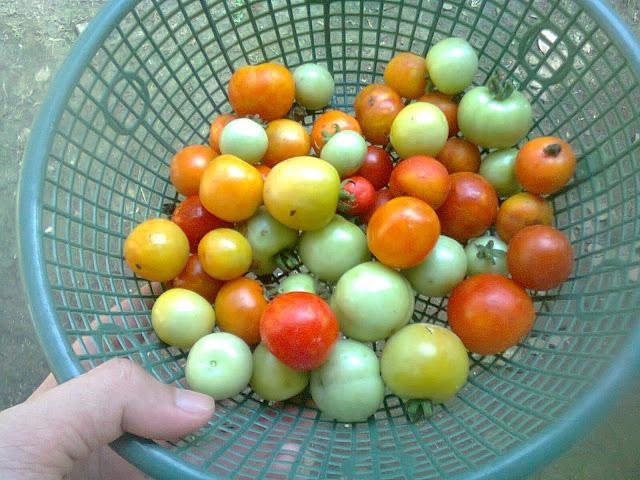 Buah Tomat Rampai Setelah Panen Yang Menguntungkan Petani