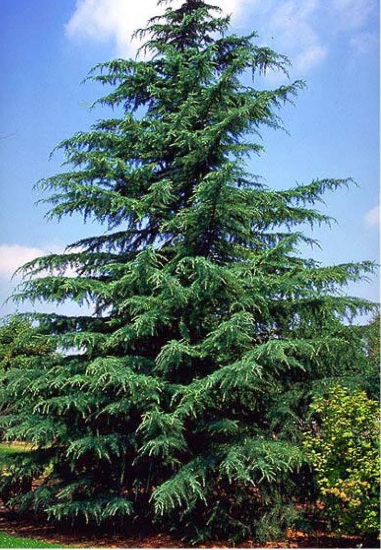 Cedar Tree Varieties ~ Beechwood landscape architecture and construction deodar