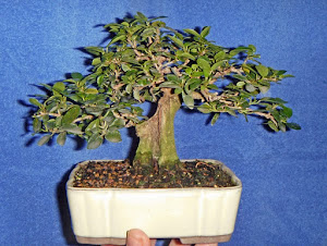 Ficus burtt-davyi mame