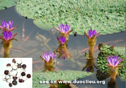 HOA GIEO TỨ TUYỆT Euryale-seed-%2528Qianshi%2529