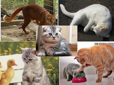 deskripsi kucing