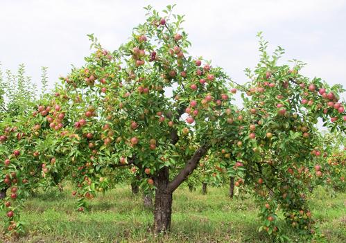 Breuillet nature les pommiers - L arbre le pommier ...