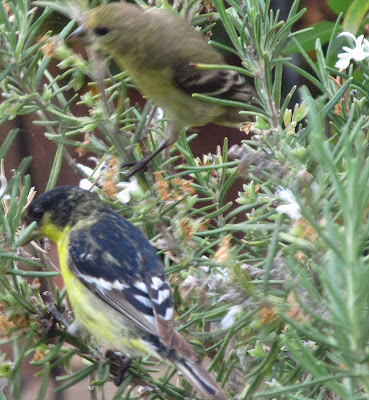 Annieinaustin, goldfinch pair,rosemary