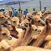 Población de vicuñas sube de 2.000 a 112.000 en Bolivia