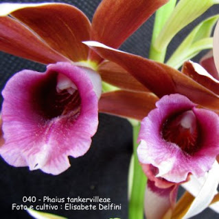 Phaius tankervilleae do blogdabeteorquideas