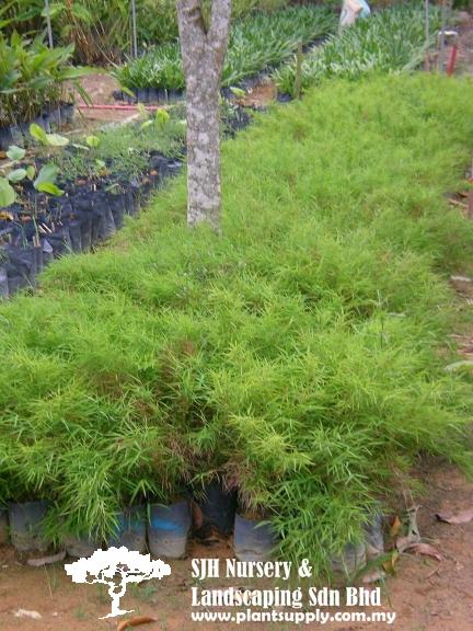 Bamboo Grass2