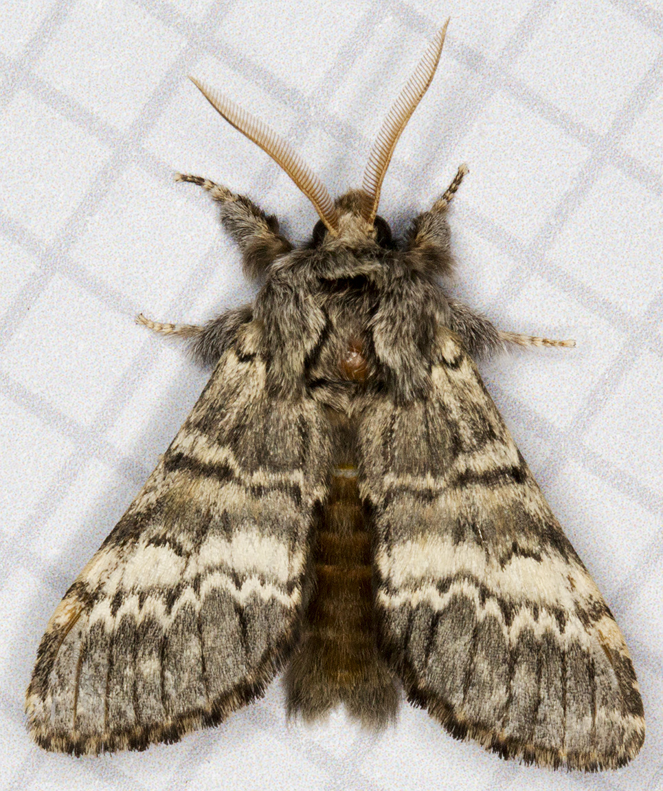 Lunar Marbled Brown.  In the West Wickham Common light trap on 15 April 2015.