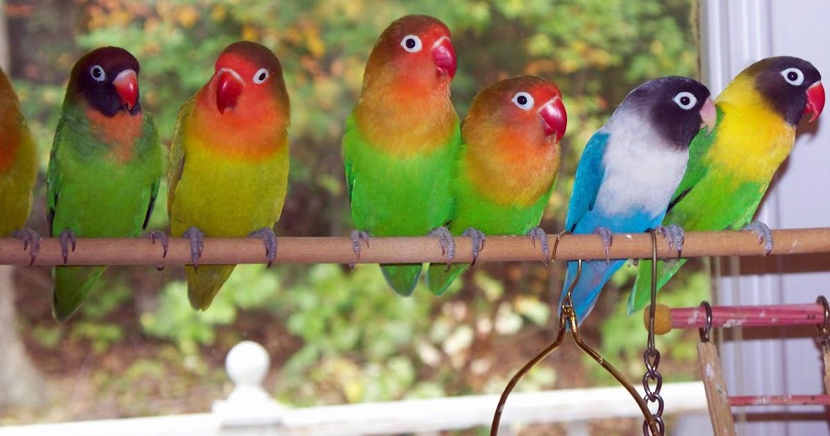 tips merawat lovebird mabung