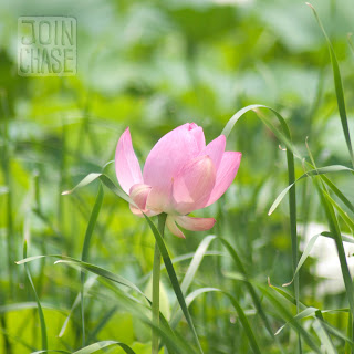 A pink lotus flower in a park along the Geum River Bike Path in South Korea.