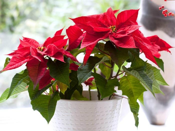 una de las plantas para ms populares para decorar la casa en esta poca del ao es la euphorbia pulcherrima tambin conocida como flor de pascua o