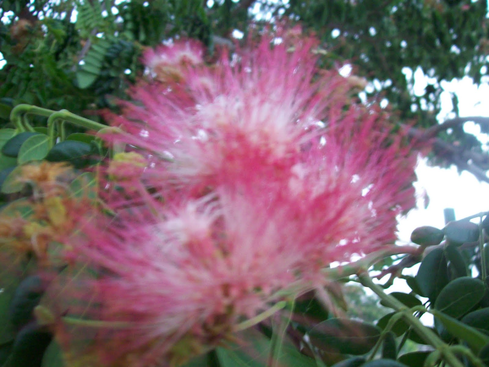 Gardentropics september 2011 pink flowers of the powderpuff plant attract bees mightylinksfo