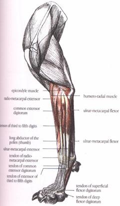 Dog forelimb anatomy