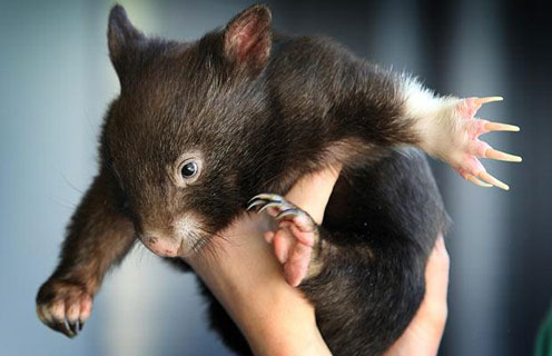 wombat most funniest photographs funny and cute animals