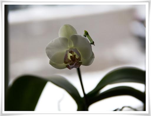 Orkidé med en enda ynka blomma