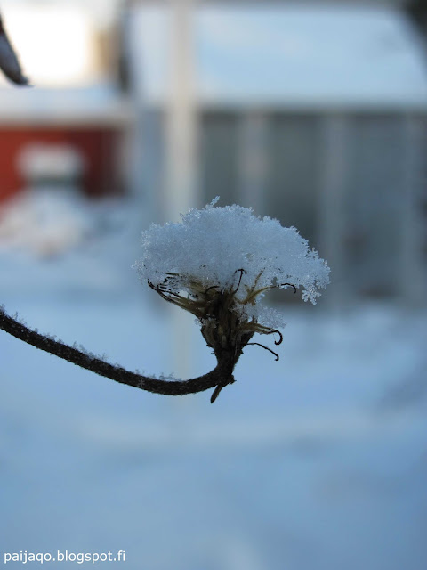 talvi: kärhönkukka