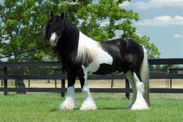 Pinto Horse Pictures Black And White Pinto Horse
