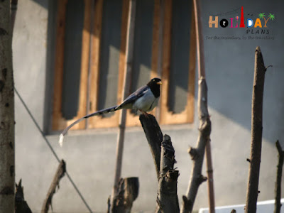 Some Himalayan bird
