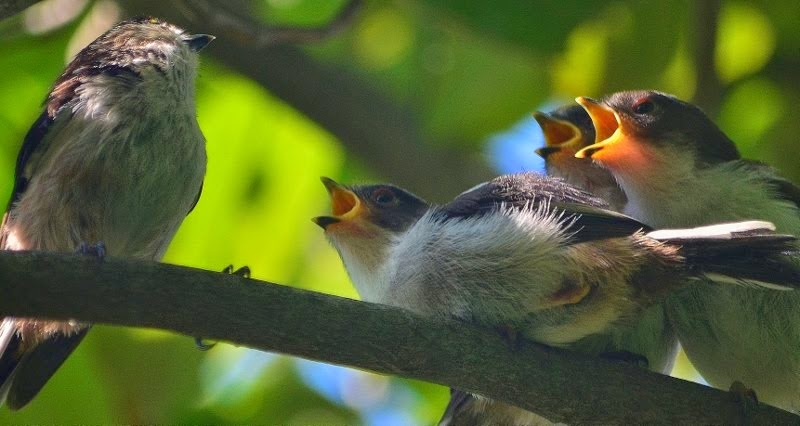 Babies of Japanese bush warbler