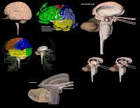 3d Brain1