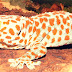 Tokay Gecko for Sale!