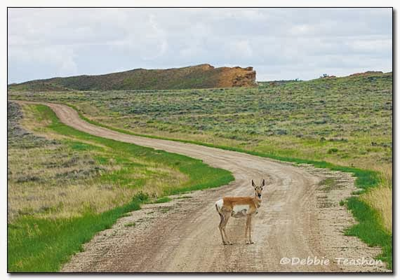 Encountered an antelope on the dirt road