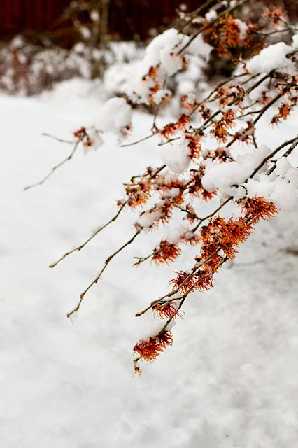 Hamamelis x intermedia 'Jelena'  witch hazel flowering branches laden with snow