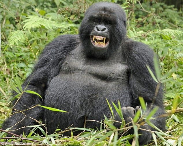 Gorilla | Animal Wildlife