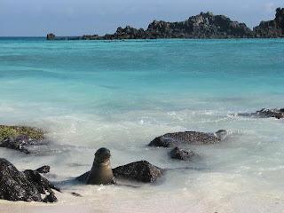 anjing laut Galapagos