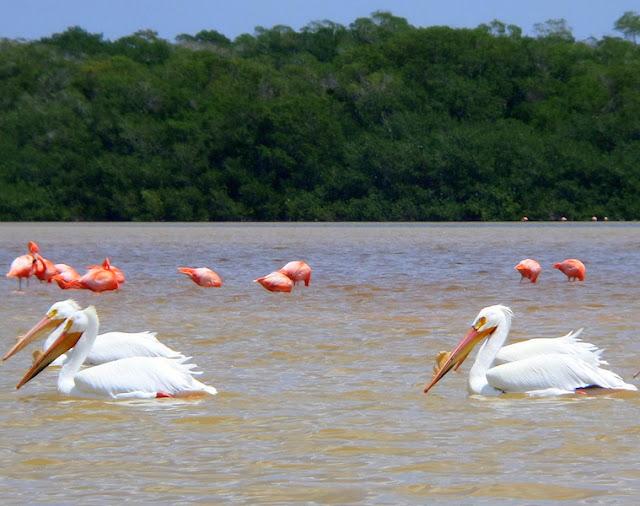 Pelicanos de Celestun