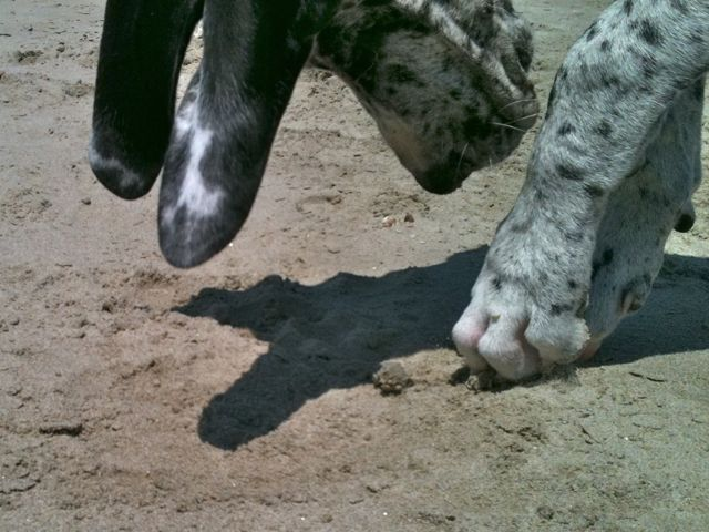 Displaying (18) Gallery Images For Teacup Great Dane...
