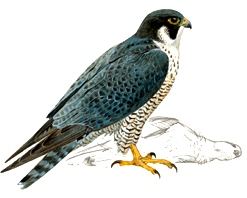Dibujo del halcón