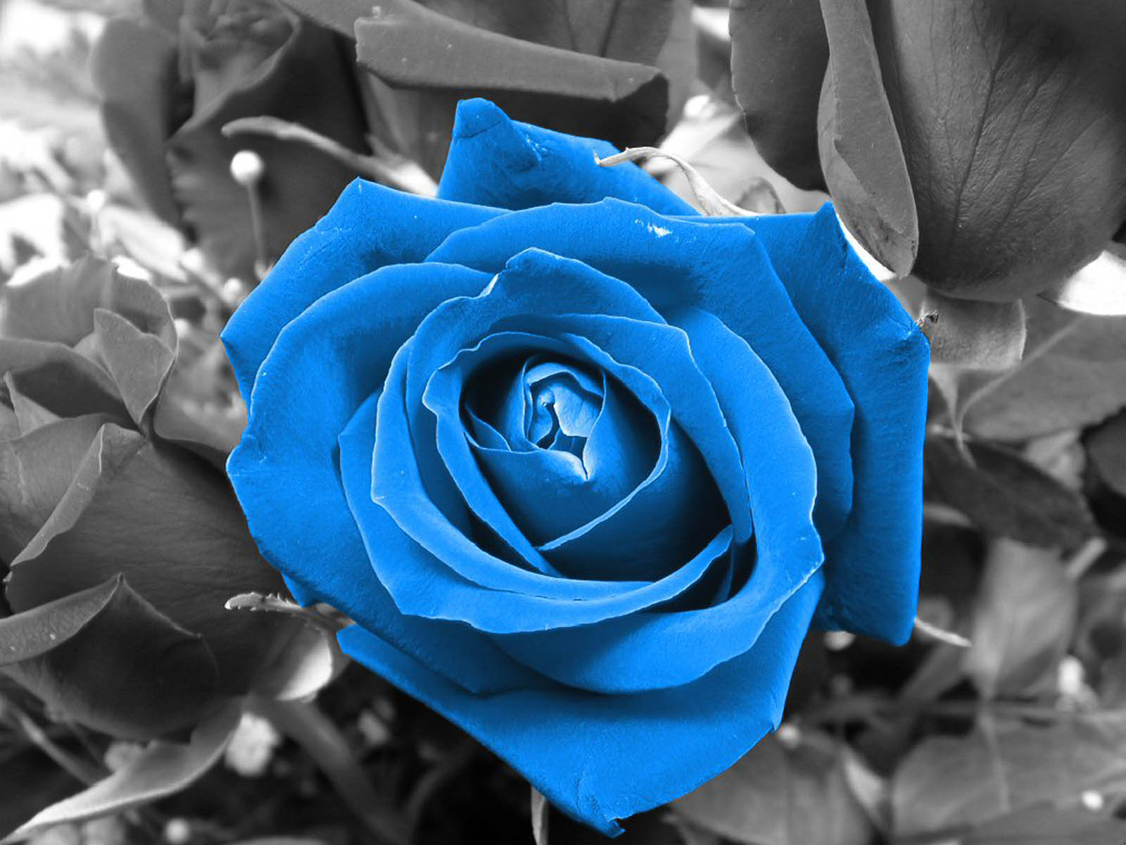 wallpapers blue rose wallpapers