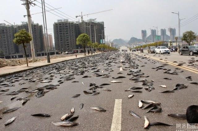 10 Gambar Mengejutkan Bertan Tan Ikan Keli Membanjiri Jalan Raya
