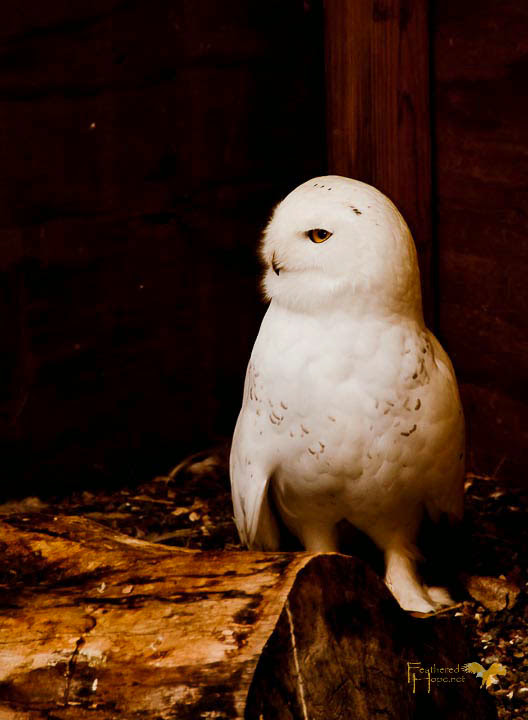 This young Snowy Owl, a resident at Raptor Education Group, captured my heart. Photo by Lisadawn Schram, Feathered Hope.Net