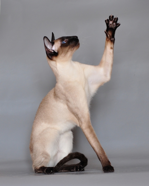 Siameza siamese cats breeds pictures photos