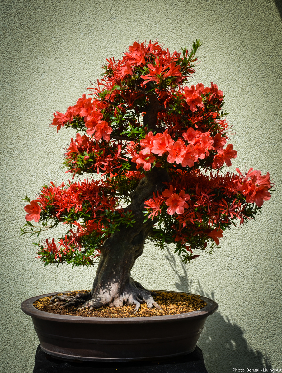 Bonsai Living Art Satsuki Azalea QuotKinsaiquot