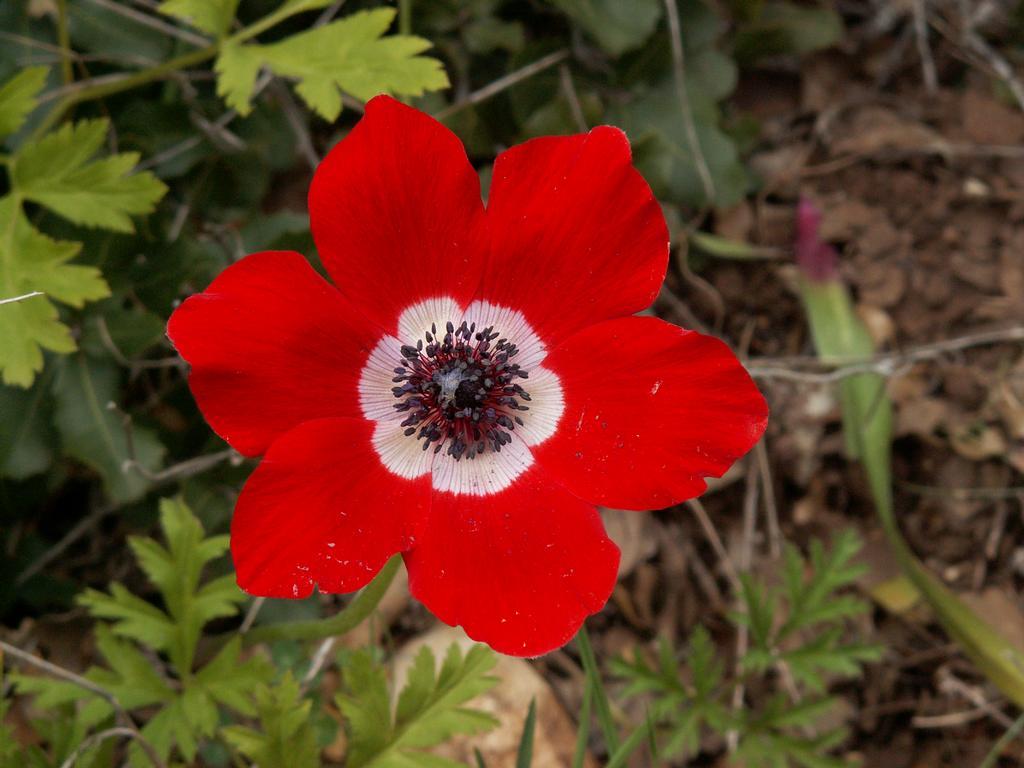 Flowers World Red Wild Crown Anemone Flower